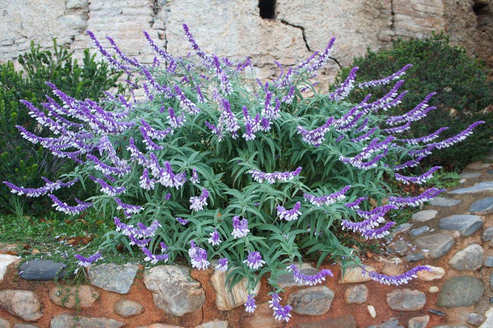 La Salvia Cruz