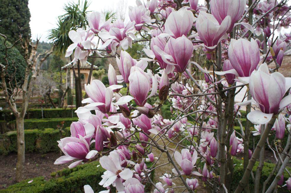 La Magnolia de hoja caduca