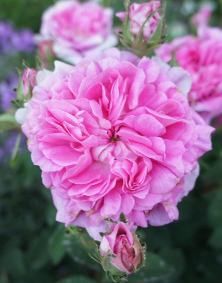 "Rosa de Damasco ""ISPAHÁN"""