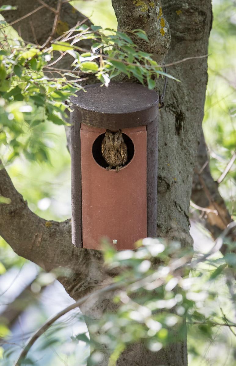 La Alhambra instala cajas-nido artificiales para que habiten autillos, el ave rapaz más pequeña de la Península.
