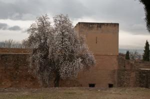 Almendros en flor en la Alhambra