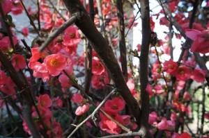 Membrillero de Japón en el Jardín del Generalife