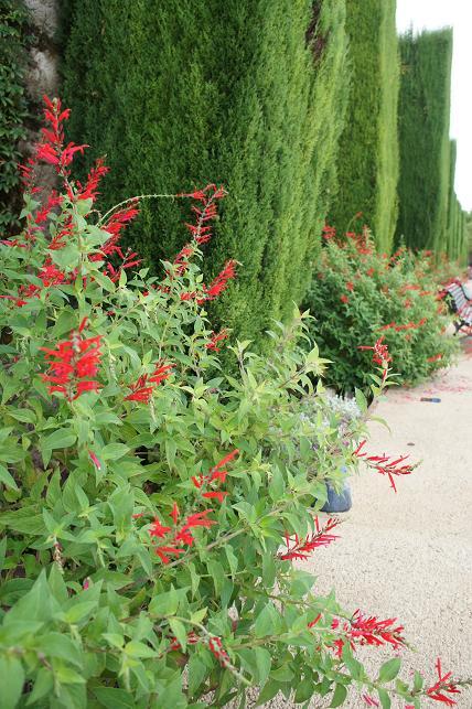 La Salvia Piña