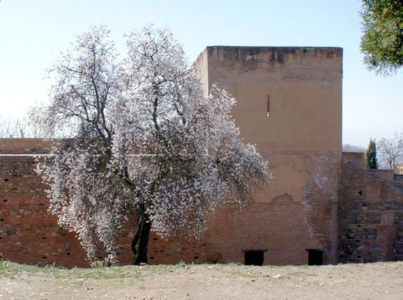 Prunus dulcis Miller