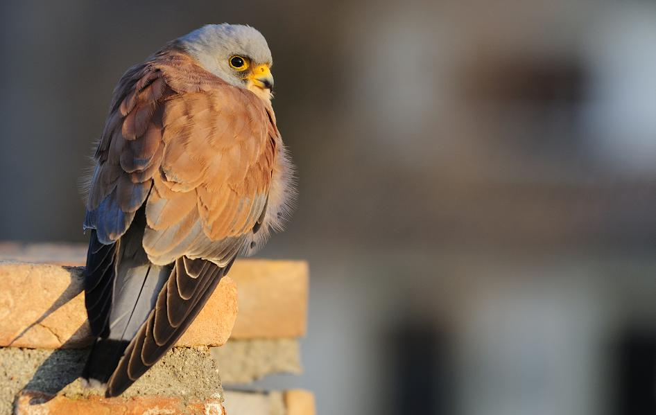 The reintroduction of the Lesser Kestrel – one of the 10 best ideas to save the nature in 2011