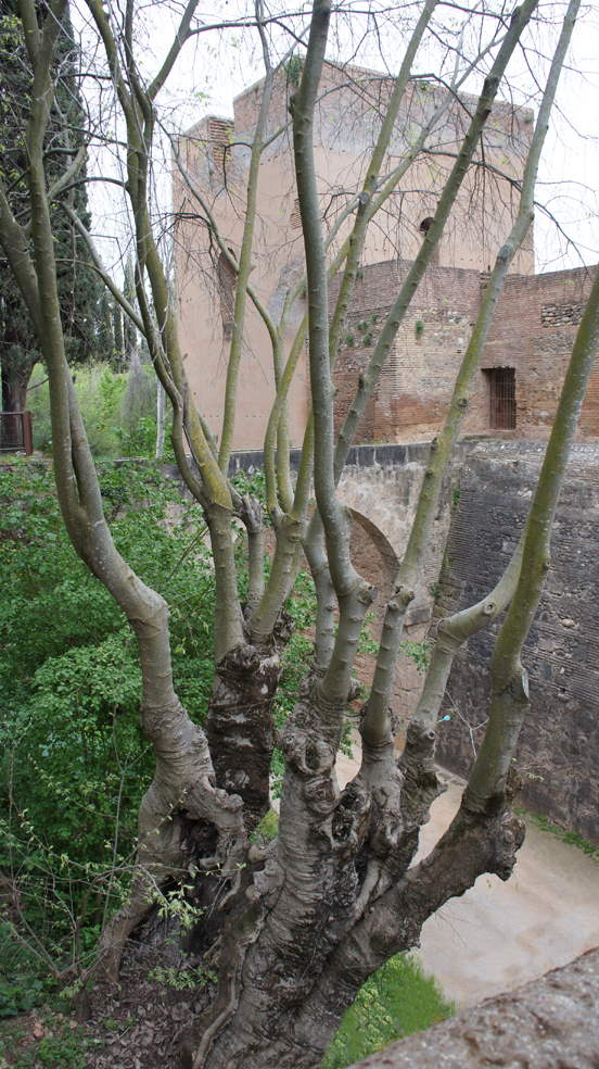 The European or Mediterranean Hackberry Tree