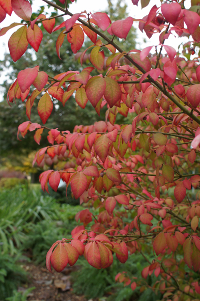 WINGED SPINDLE TREE