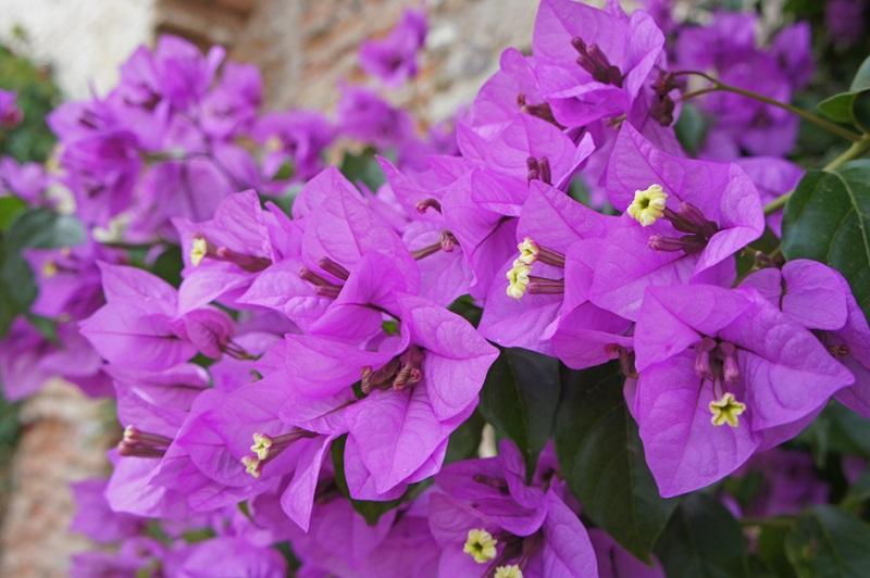 Bougainvillea or Paper Flower