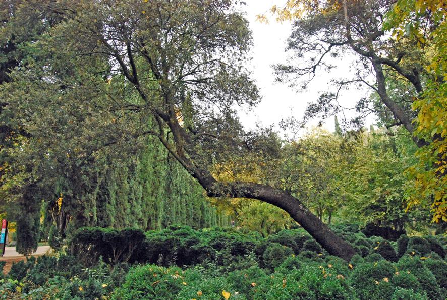 The holm oak