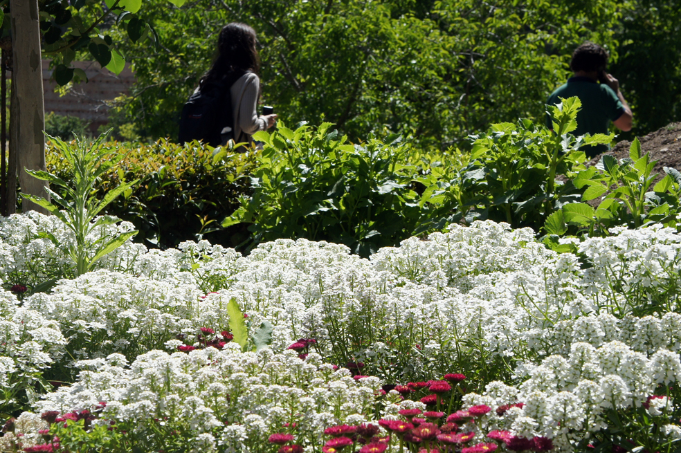 the Evergreen Candytuft