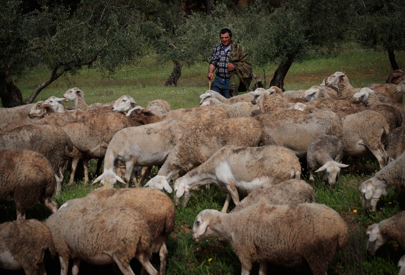 La Alhambra vuelve a recuperar la actividad del pastoreo en la zona del olivar de la Dehesa del Generalife