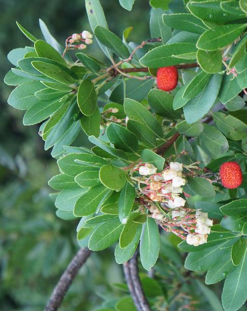 The strawberry tree