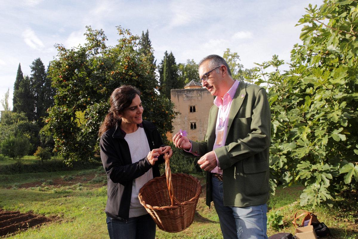 La Alhambra presenta su primera cosecha de azafrán en las Huertas Medievales del Generalife