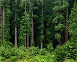 sequoia foto california