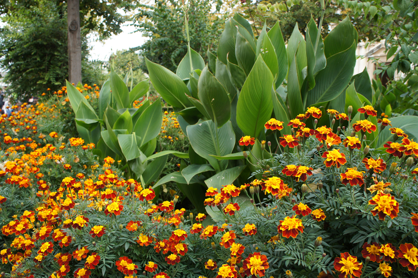 The French marigold