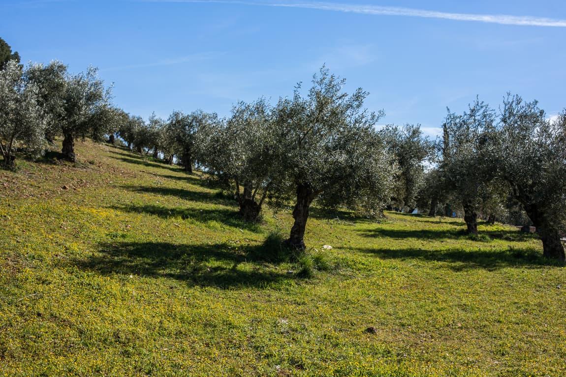 Olivos en la Dehesa del Generalife