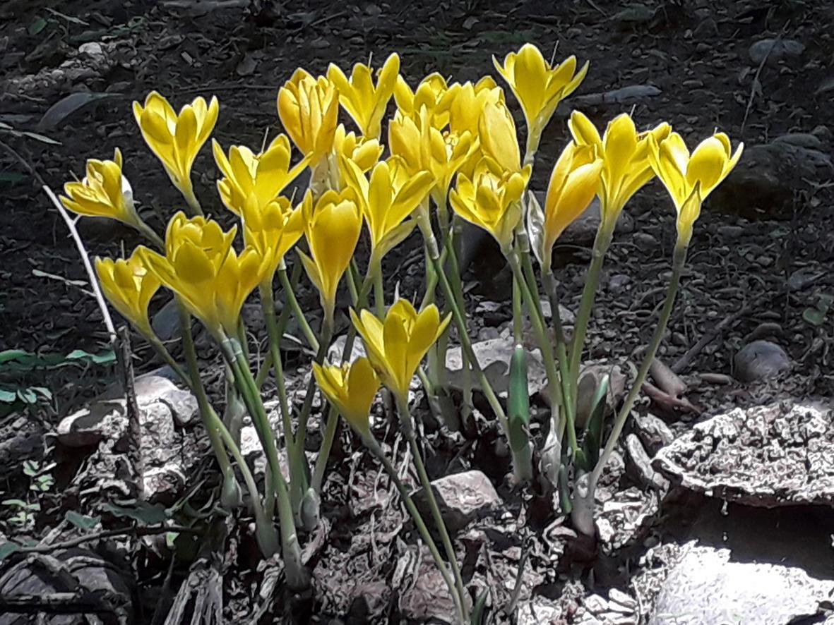 La azucenita amarilla